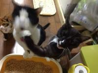 完全に入ってる… ご飯が待ちきれなくて兄弟にアッパーカットをお見舞いする猫が話題に