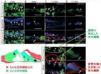 慶応大など、難聴において「蝸牛外有毛細胞」を再生させて聴力の改善に成功