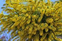 女性に花を贈るイタリアの粋な記念日「ミモザの日」