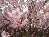 「桜の寿命は60年」はほんとうなのか