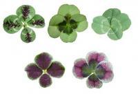 四つ葉か五つ葉か六つ葉が見つかるクローバー