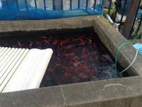 阿佐ヶ谷に高級な金魚も泳ぐ「釣り堀」がある