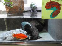 「エサ金魚」のカープ君、3年半逃げ続ける オオサンショウウオと奇妙な共棲