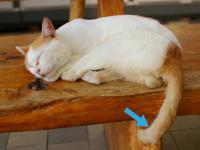 長崎に「尾曲がり猫」が多いという説を検証してみた