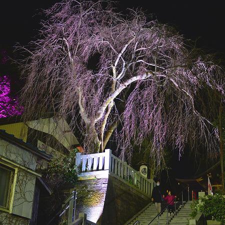 """樹齢百年超のしだれ桜に""""光の花"""" 毛谷黒龍神社でライトアップ"""