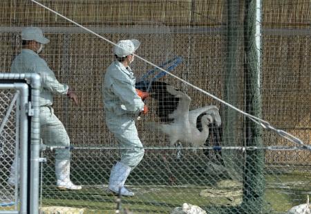 コウノトリ2羽、放鳥備え豊岡へ コウノトリの郷公園で馴化訓練