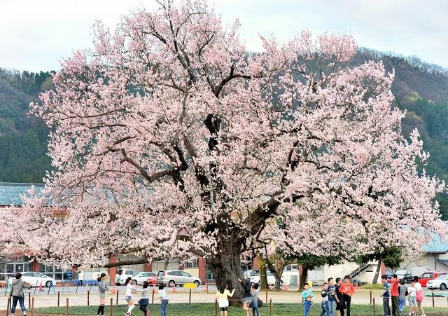 味真野小校庭の桜、一気に春色 好天続き福井で満開宣言