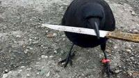 世界一有名なカラス、犯罪現場から凶器を盗む