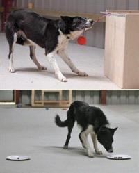 犬の賢さ ボーダーコリー68頭でIQテスト 英大学