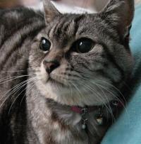 「ウチのミーもそうだった…」猫に腎不全が多い理由 ネコ型マウスで突き止める