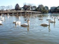 関東でも…水戸市の池で死んだオオハクチョウから鳥インフル