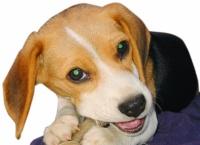 イヌの歯の再生 岡山大がビーグル犬で実験成功 ヒトへの応用目指す