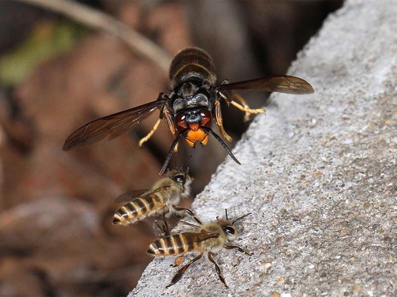 ミツバチの画像 p1_35
