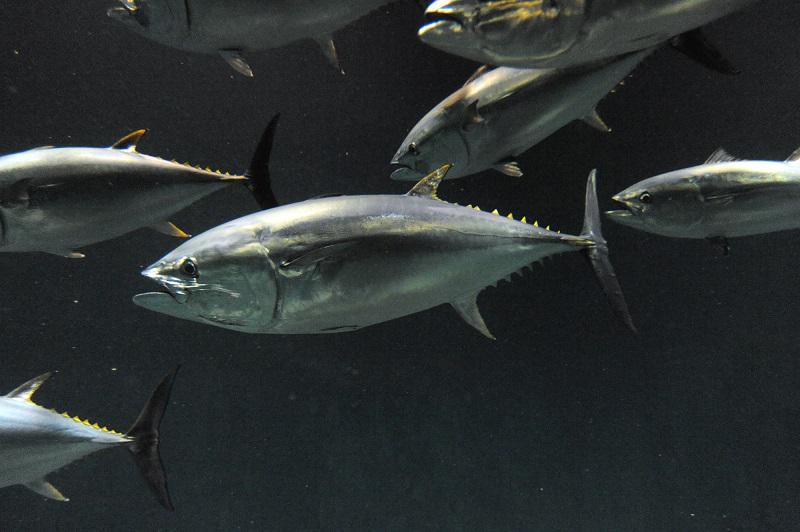 マグロ大量死 原因はまだわからず 残るは2匹 葛西臨海水族園