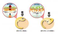 突然変異の扁平メダカ 臓器を立体化する遺伝子を特定 再生医療にも…
