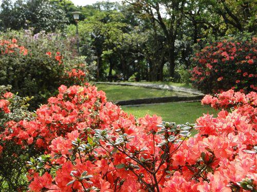 台湾・陽明山、8万本のツツジの開花はもうすぐ