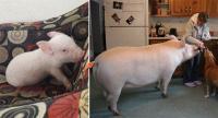 話が違うじゃないか!ミニブタだと思って飼った豚が180キロを超えた。でもかわいいから許す。
