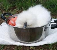 自ら鍋に入る烏骨鶏(うこっけい)がいるお宅の日常