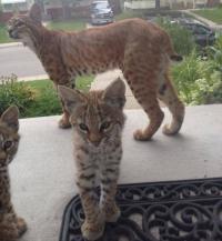 ボブキャットパイセンが3匹の我が子を連れて玄関先にやってきただとぅ?カナダ、カルガリー地区ではボブキャットが出没中