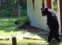 二足歩行でスタスタ歩くあのクマが越冬してまた町に戻ってきた(米ニュージャージー州)