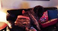 自分まだ赤ちゃんなわけやしぃ。大きくなっても飼い主の膝の上に乗るのが大好きな犬たちの動画総集編