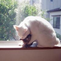 みなしごとな?私が母親になりましょう。2匹のみなしご子猫の母親役をかって出た美人猫「コト」さん