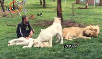 猛獣ヘブン状態でライオンをモフる飼育員男性の背後から迫るヒョウの「だるまさんが転んだ」 だがその時トラが動いた!
