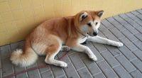 スペインでも秋田犬は忠犬だった。飼い主が緊急入院。家に帰ることを拒み病院の前で6日間待ち続けた犬