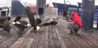 ハクトウワシが入れ食い状態。アラスカの港でちょっとだけ飼い慣らされるハクトウワシ軍