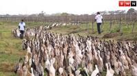 ブドウ畑は俺たちが守る!1000羽を越えるアヒルの警備隊たちが群れをなして大活躍(南アフリカ)