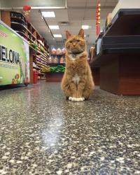 ニューヨーク、チャイナタウンの陶器ショップにいる動く招き猫、ボボさんの日常