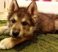 「子犬差し上げます」一目惚れしてもらった犬が犬らしからぬワイルドさ。ウルフドッグ(狼犬)であることが判明。
