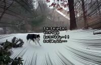 初雪にテンションダダ上がりのハスキー犬、全雪に足跡つけるまでやめられない止まらない。