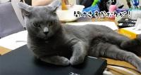 ノートパソコンを使おうとすると完全制御する猫のいる風景