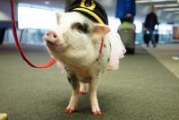 今度はブタが加わった。世界初のセラピー豚がサンフランシスコ国際空港にお目見え