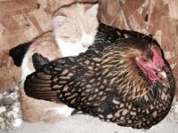 自分ニワトリですから。ニワトリに温められたがる子猫のいる風景、ニワトリさんも受け入れちゃうし(アメリカ)