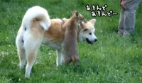 秋田犬に甘えたい子ぎつねコンコン、背中に乗ってきゃっきゃうふふ