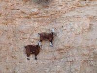 壁画かよ!地球上で重力に戦い続けるヤギたちの崖っぷちな風景