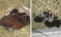 小さい命は温めなきゃ!子猫たちを温め続けるニワトリの母性