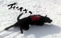 災害救助犬だって遊びたい。どこまでも雪滑りを楽しむ犬