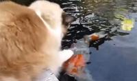 捕食?と思ったら違うようだ。猫と鯉に芽生えた友好関係