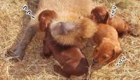 カピバラ聖母伝説。すべての動物たちを平等に愛するカピバラのいる風景(アメリカ)