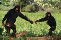ボノボ、チンパンジー、オランウータンなどの類人猿は嘘か真実かを見抜くことができる(ドイツ研究)