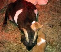 元野良猫のオス猫が子育てに本気を出した。ただし子どもはヤギだけど・・・(アメリカ)
