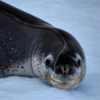 「アザラシが南極で昼寝をすると…」→目が覚めたときにこんな顔になる