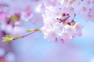 「お花見」でモテる秘訣、教えます!