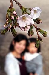 <桜開花>名古屋で昨年より3日早く