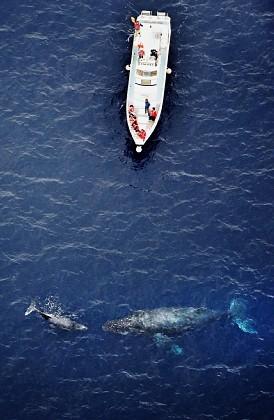 <慶良間諸島>クジラの親子、ウオッチング船の近くで遊ぶ