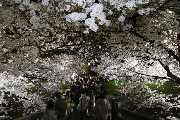 <桜満開>心弾む夜の散策…名古屋・山崎川