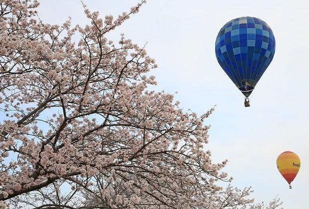 <熱気球レース>桜満開の空を飛来 栃木・渡良瀬